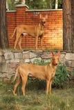Pares de perros del faraón Fotos de archivo