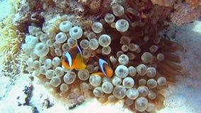 Pares de pescados de anémona en el mar tropical en el arrecife de coral almacen de video