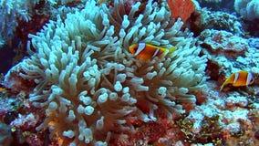 Pares de pescados de anémona en el mar tropical en el arrecife de coral almacen de metraje de vídeo