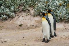 Pares de pingüinos de rey que se colocan en la arena Fotografía de archivo