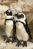Pares de pingüinos negros africanos del pie foto de archivo