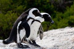 Pares de Pinguins Fotografía de archivo