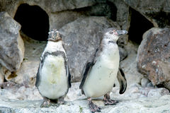 Pares de pinguins fotos de stock