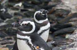 Pares de pinguins de Magellanic fotos de stock