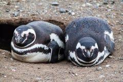 Pares de pinguins magellanic fotos de stock