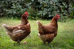 Pares de pollo en el jardín foto de archivo