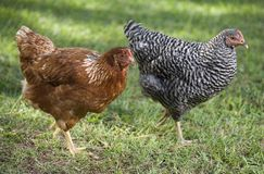Pares de pollos Foto de archivo libre de regalías