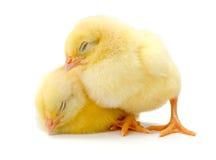 Pares de pollos amarillos recién nacidos soñolientos Fotos de archivo