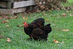 Pares de pollos de Cochin Foto de archivo