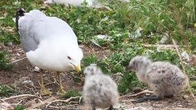 Pares de polluelos Anillo-cargados en cuenta de la gaviota con el padre almacen de metraje de vídeo