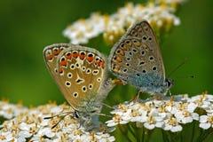 Pares de Polyommatus Icaro Foto de Stock Royalty Free