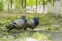 Pares de pombas que estão na terra, duas pombas imagem de stock