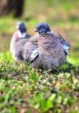 Pares de pombos Foto de Stock