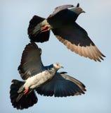Pares de pombos Fotografia de Stock
