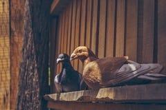 Pares de pombos de direção Fotografia de Stock