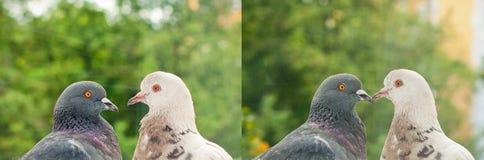 Pares de pombos no amor Fotografia de Stock
