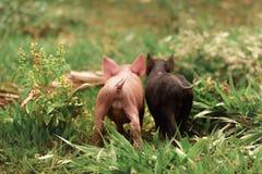 Pares de porcos pequenos fotografia de stock
