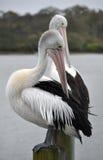 Pares de preening pelicanos australianos Fotos de Stock