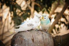 Pares de pássaros Fotografia de Stock