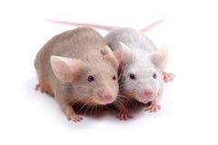 Pares de ratos imagem de stock