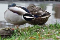 Pares de reclinación de patos silenciosamente y attently imagen de archivo