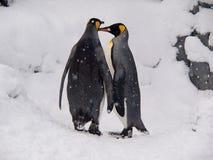 Pares de rei pinguins no jardim zoológico de Asahiyama Fotos de Stock Royalty Free
