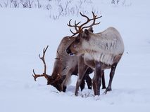 Pares de renos debajo de una tormenta de la nieve imagen de archivo libre de regalías