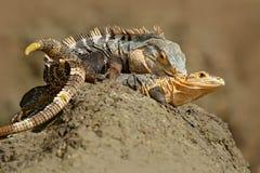 Pares de reptiles, iguana negra, similis de Ctenosaura, sentada hembra-varón en la piedra negra, masticando a la cabeza, animal e imagen de archivo