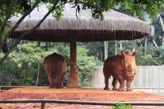 Pares de Rhinos - jardim zoológico de Sao Paulo imagem de stock