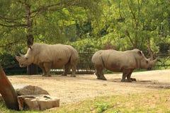 Pares de rinoceronte blanco (rinoceronte cuadrado-labiado) que se colocan encendido Fotografía de archivo