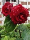Pares de rosas vermelhas Imagens de Stock