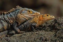 Pares de répteis, de similis pretos da iguana, do Ctenosaura, de homem e de assento fêmea na pedra preta, mastigando à cabeça, an Imagens de Stock Royalty Free