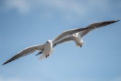Pares de Seaguuls con las alas separadas Fotos de archivo