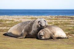 Pares de sellos de elefante meridionales (leonina) del Mirounga Falkland Isla Fotos de archivo libres de regalías