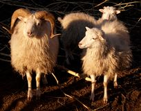 Pares de sheeps Imagens de Stock