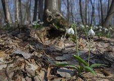 Pares de snowdrops en bosque de la primavera foto de archivo libre de regalías