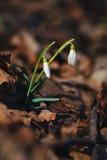 Pares de snowdrops na floresta Fotografia de Stock Royalty Free