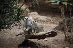 Pares de suricate (meerkat) Foto de Stock