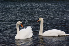 Pares de swans_2 Foto de Stock Royalty Free
