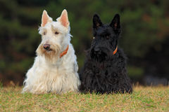 Pares de terrier escocês (wheaten) preto e branco, sentando-se no gramado da grama verde Fotografia de Stock