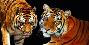 Pares de tigres Imágenes de archivo libres de regalías
