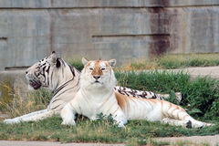 Pares de tigres de bengal Imagem de Stock