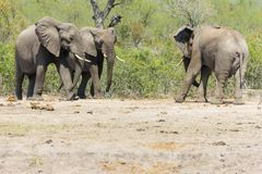 Pares de toro hostil del elefante de la reunión del elefante fotografía de archivo libre de regalías