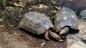 Pares de tortugas de las Islas Galápagos en un jardín zoológico metrajes