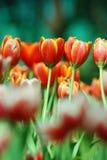 Pares de tulipanes Imágenes de archivo libres de regalías