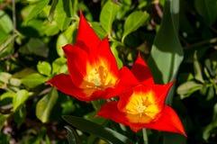 Pares de tulipanes del fuego finales Imagen de archivo libre de regalías
