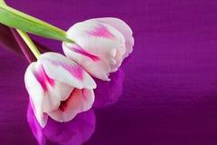 Pares de tulipas Fotografia de Stock