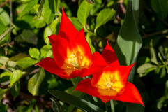 Pares de tulipas do fogo finais Imagem de Stock Royalty Free