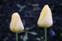 Pares de tulips amarelos Imagens de Stock