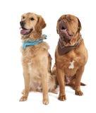 Pares de um Mastiff e de um retriever do gloden Fotografia de Stock Royalty Free